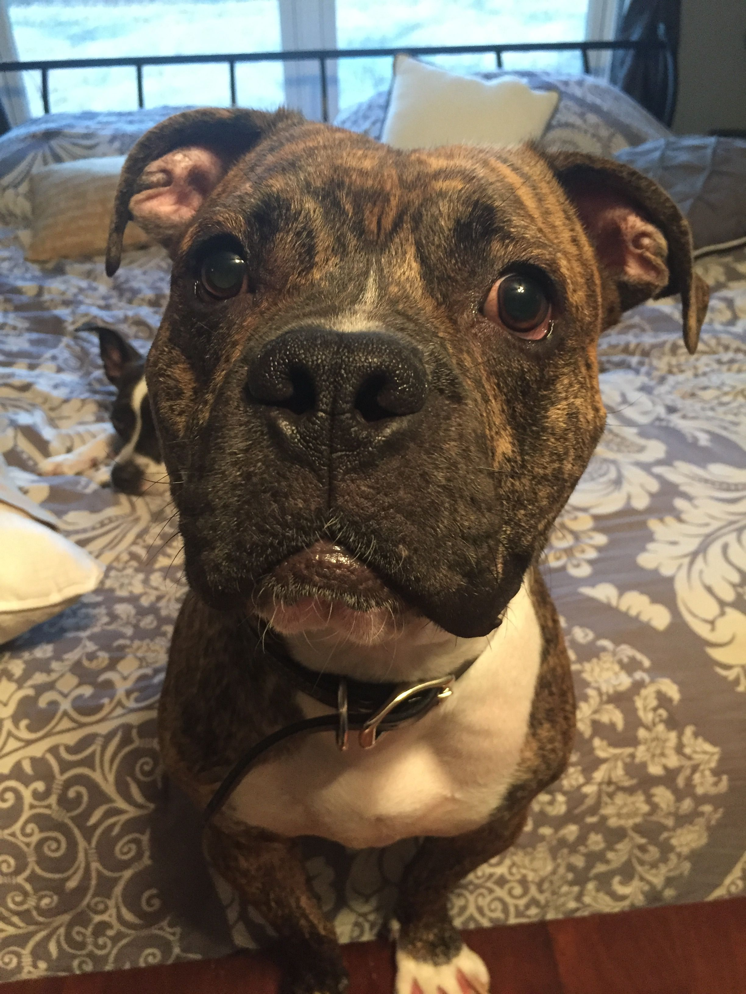 Bullboxer Pit Dog For Adoption In Akron Oh Adn 564788 On P