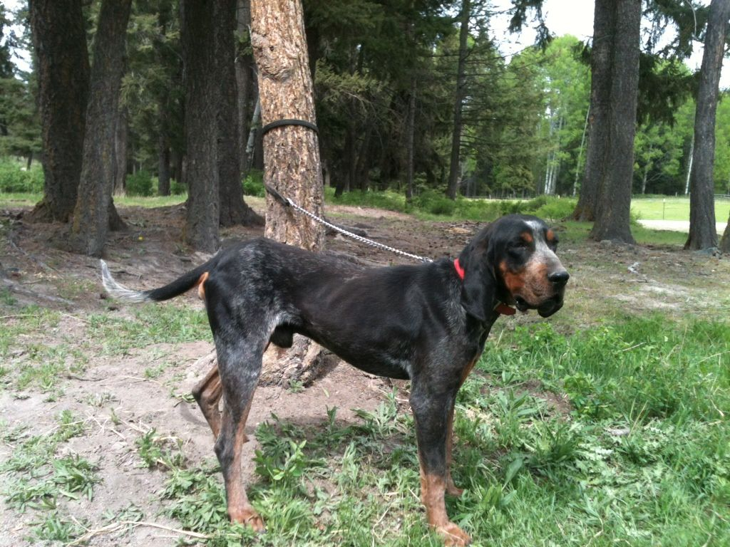 blue tick hound photo High Country Bluetick Hounds for