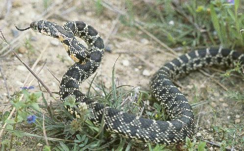 Cobras não-peçonhentas São chamadas de cobras não-peçonhentas as cobras que não possuem os chamados dentes inoculadores de veneno, ...