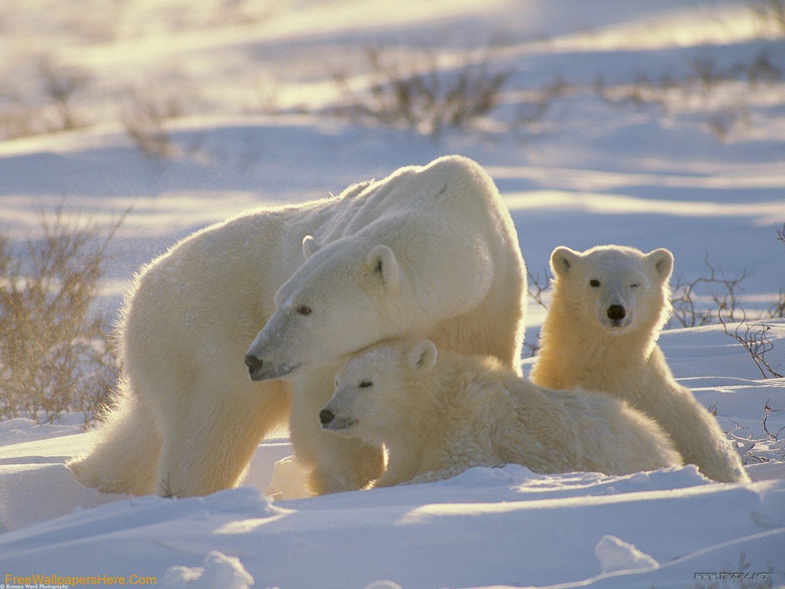 pictures of white polar bears | white polar bears wallpaper
