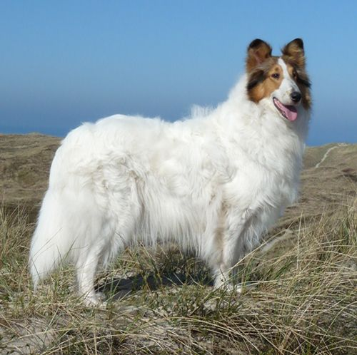 White Sable Rough Collie Special Design By Glasgowhill
