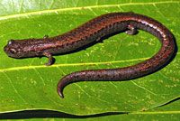 California Slender Salamander - Batrachoseps attenuatus
