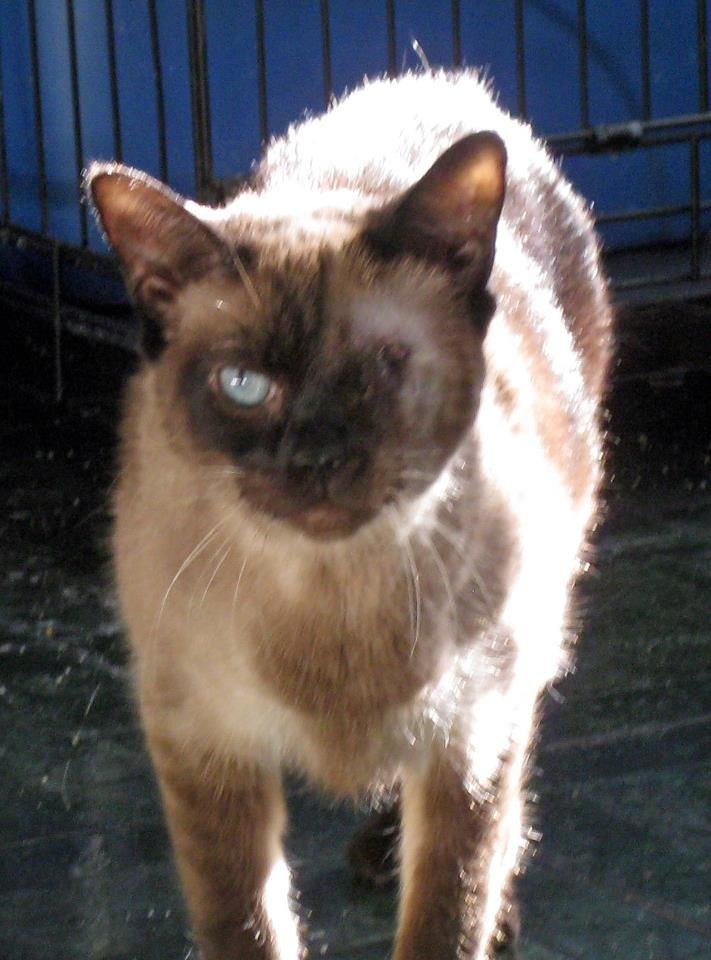 Cat Missing Siamese Cat With One Eye Escaped From Carrier In The Parking Lot Of Petsmart Route 110 Huntington Station On Friday February 22 With Images Munchkin Cat