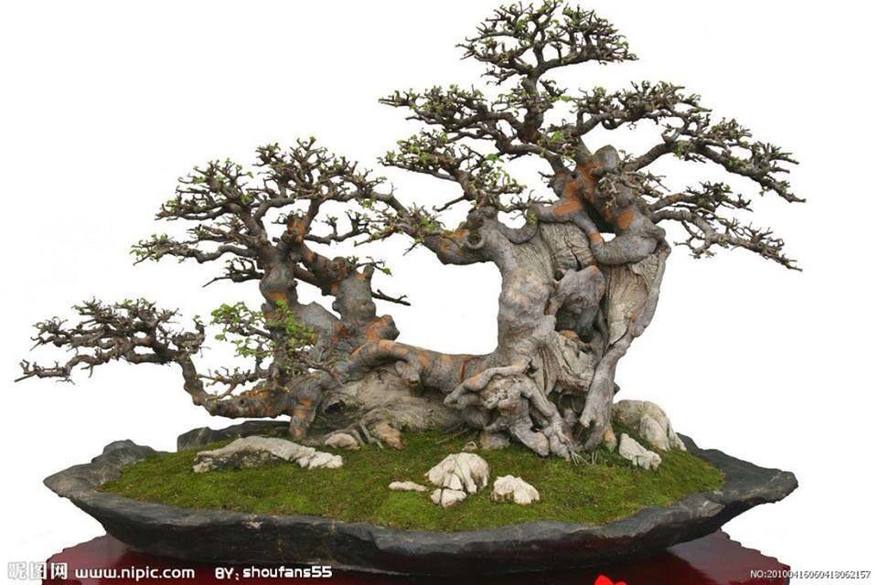 pin von frauke schmaljohann auf bonsai bonsai bonsai baum und pflanzen. Black Bedroom Furniture Sets. Home Design Ideas