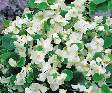 Green Leaf Wax Begonia Container Flowers Annual Plants Nursery Landscape Design