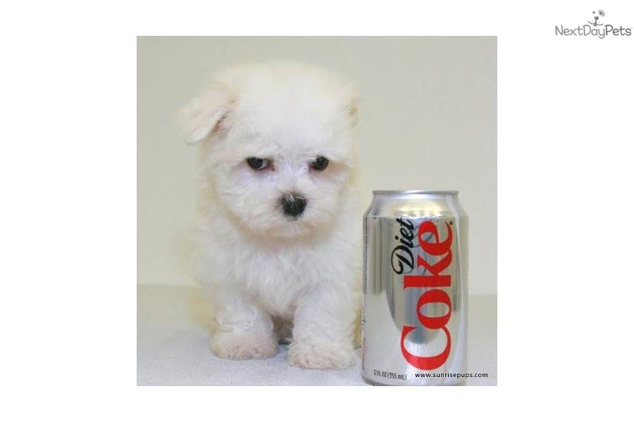 small breed dogs under 10 pounds | ... for sale for $350. Teacup Max our Male Maltese!! Under 5 lbs $350