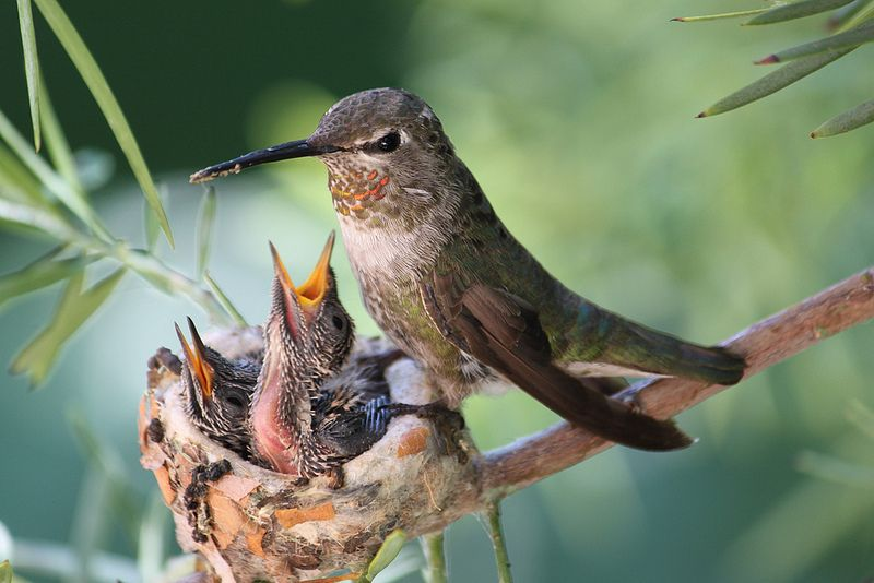 Anna's hummingbird with babies. (With images) Backyard