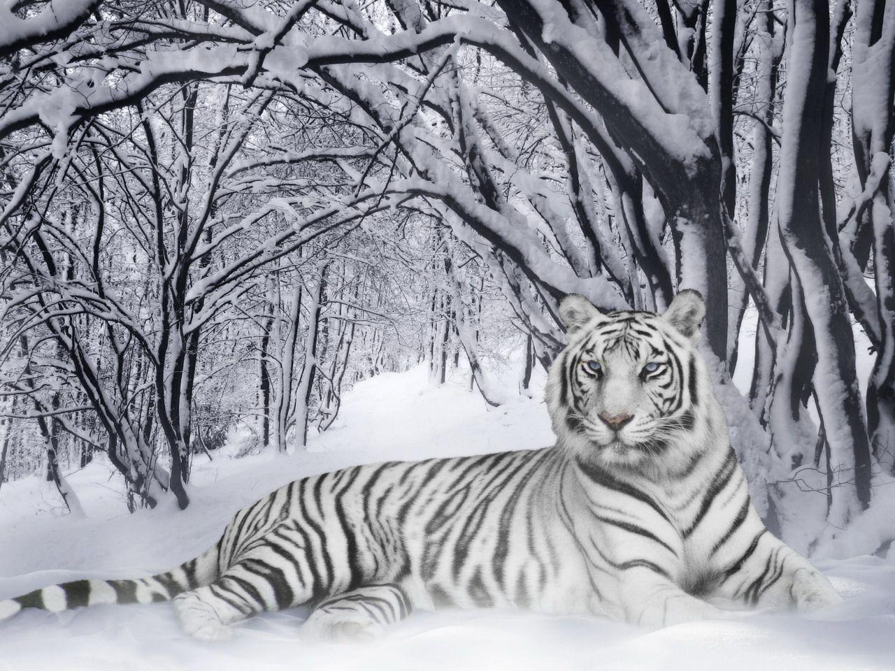 White Phase Bengal Tiger.