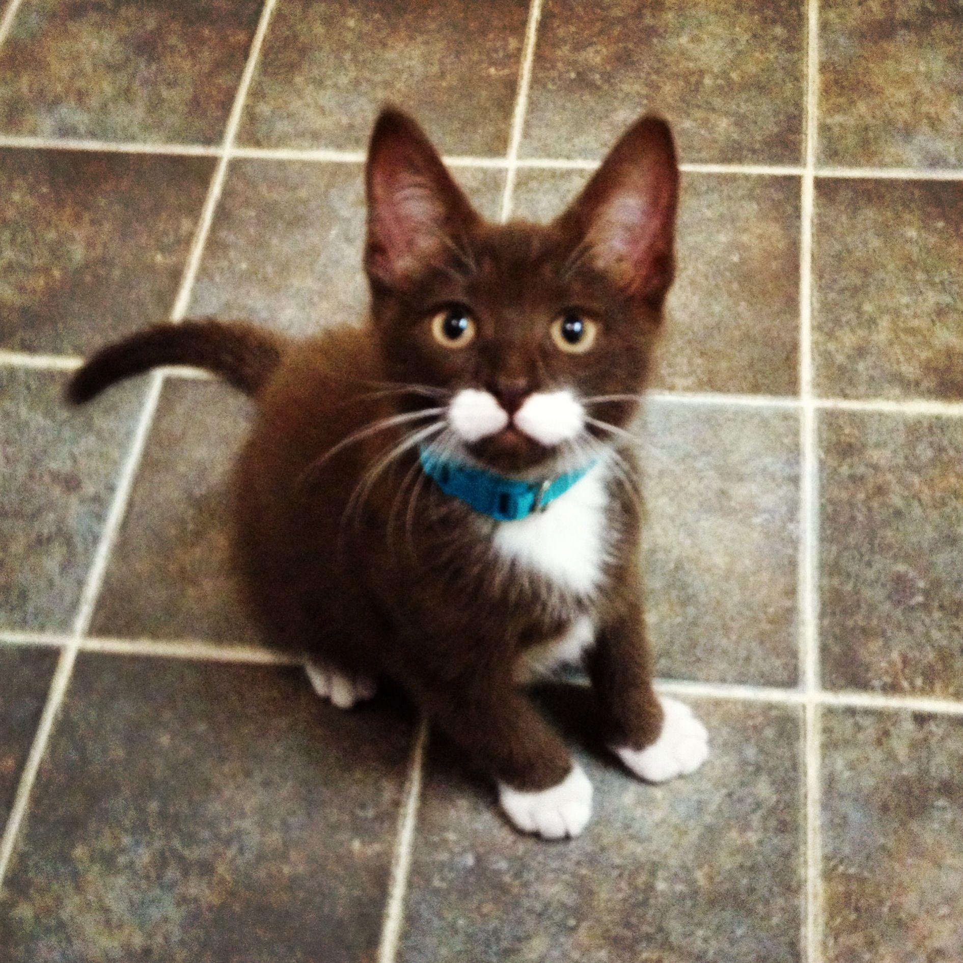 My Havana brown mustache kitten Adorable Pinterest