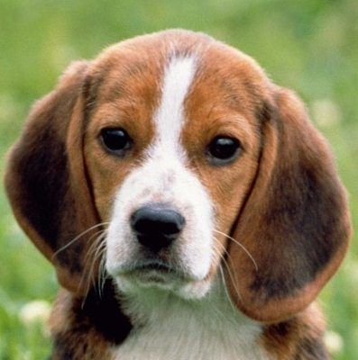 beauty beagle! My Rodger looks just like this!!