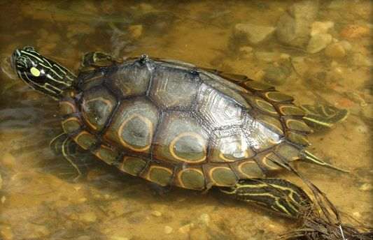 Ringed Map Turtle Graptemys Oculifera Endemic To The Pearl River