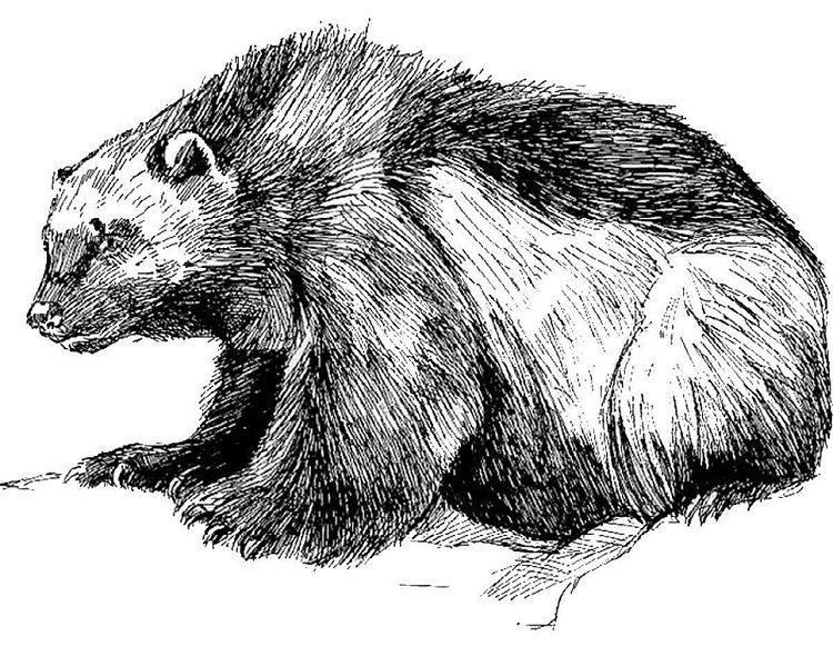 Wolverine Animal Coloring Pages Wolverine Animal Animal Coloring Pages Animals