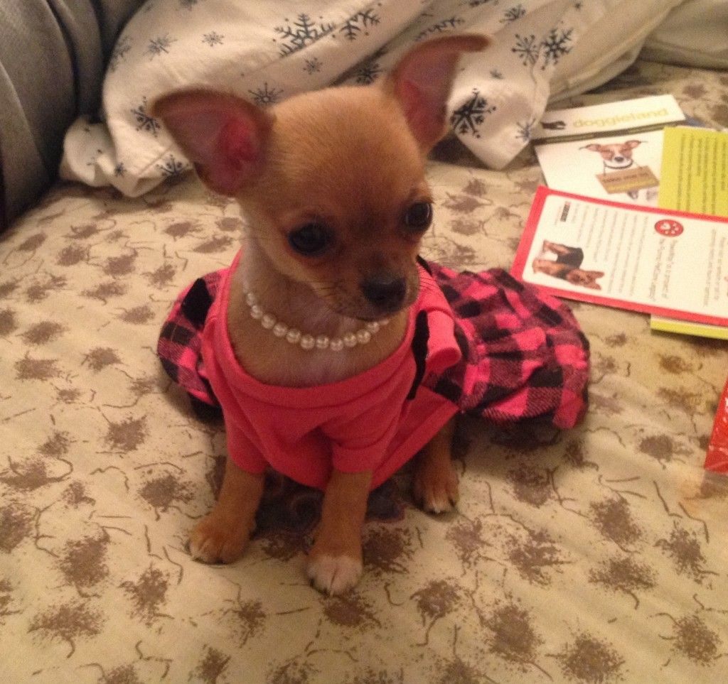 Chikita The Chihuahua Hope You Re Doing Well From Your Friends At