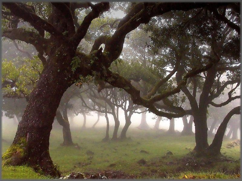 Bäume Fanal Landschaft Lorbeer Lorbeerwald Madeira Nebel Nebellandschaft  Nebelwald Portugal Wald