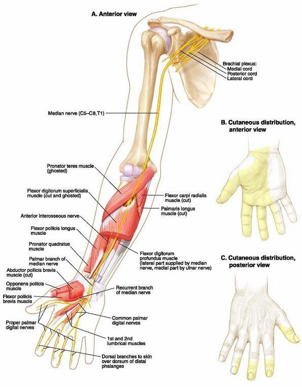 Median Nerve Route Diagram Wiring Diagram