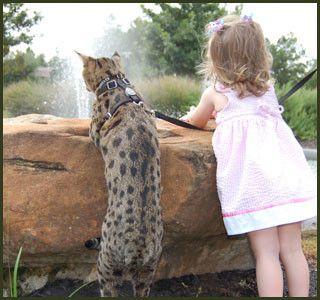 F1, F2, F3, F4, & F5 Savannah Cats for Sale Kitten