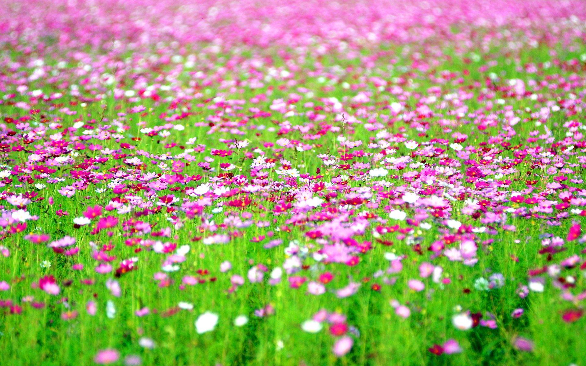 Ultra HD Cosmos Flowers Field