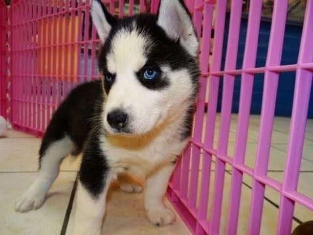 Free Siberian Husky Puppies Available Husky Puppy Siberian Husky Puppies Free Siberian Husky Puppies