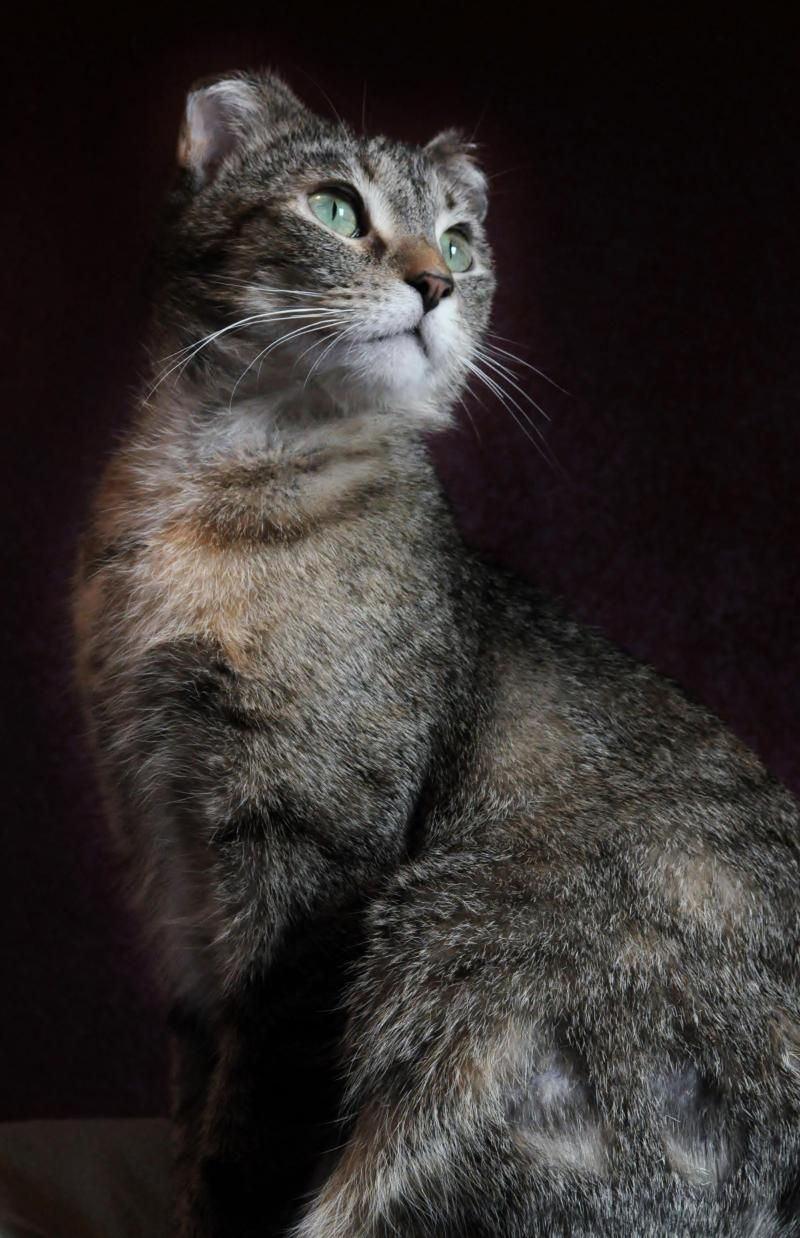 Adopt Cricket on Short hair cats, Cats, kittens, Animal