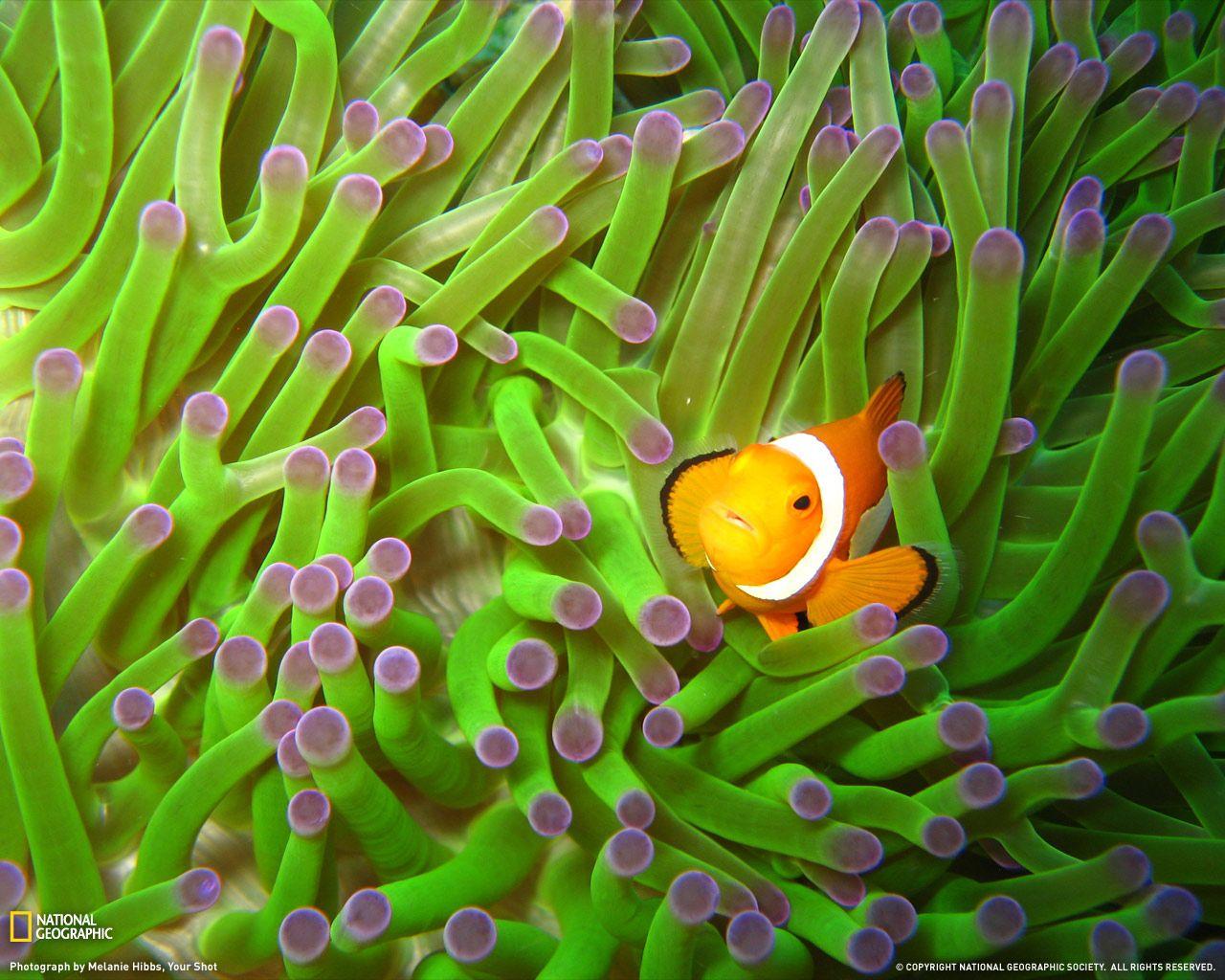 Clownfish And Sea Anemone Hd Desktop Wallpaper High Definition Clown Fish Clownfish And Sea Anemone Fish