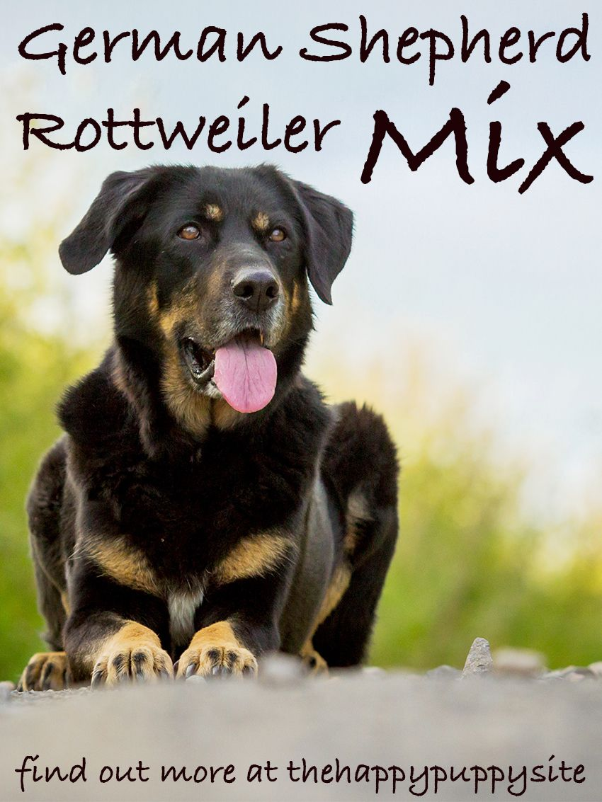 German shepherd rottweiler mix breed factsinformation