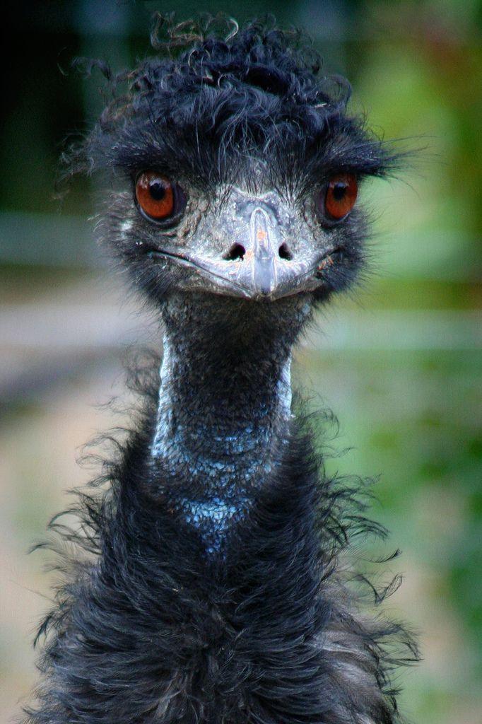Emu portrait Funny birds, Pet birds, Beautiful birds