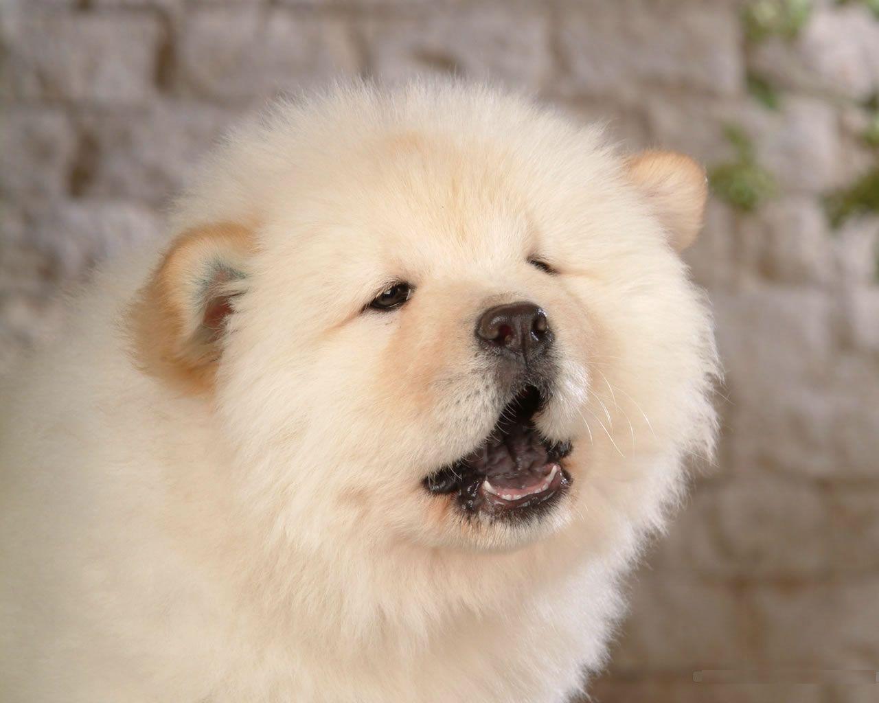 Big Cute White Dog Photo Cute Big Dogs Cute White Dogs Chow