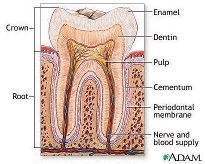 Teeth diagram tooth diagram school pinterest teeth diagram tooth diagram ccuart Gallery