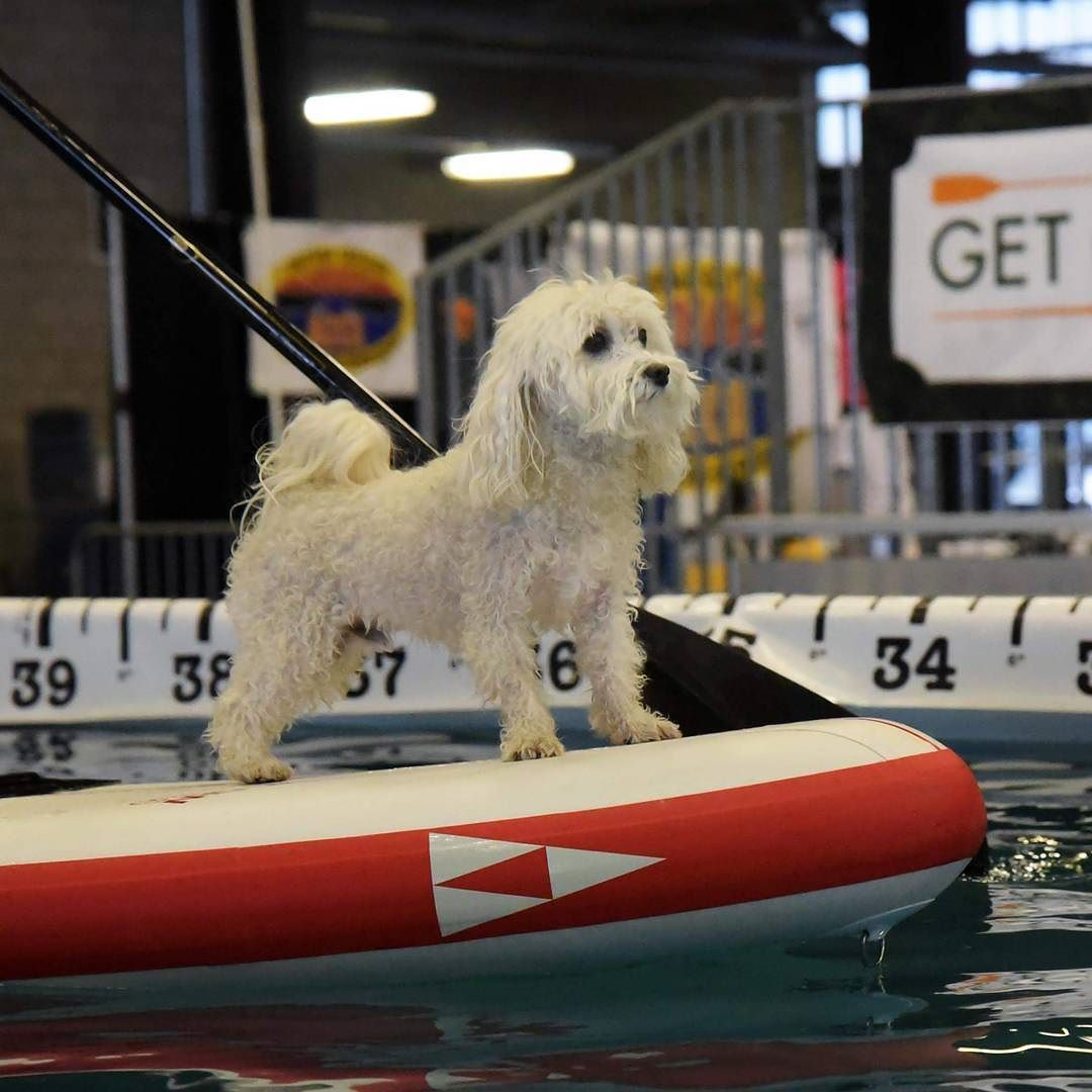 I participated in #riverboundsports paddleboard demonstration at  the #arizonagetoutdoorsexpo. In between jump demonstrations they used the diving pool to do a paddleboard skills & yoga demo and of course they wanted to use cute little me as a #suppup . #Repost Thank you Brand Never Majerie and the #ultimateairdogs  for the picture and water time! . . . @sicmaui #sicmaui #sicflow #arizona #arizonayoga #riverboundsports #riverbound #supdog #azpaddlers #westworldofscottsdale