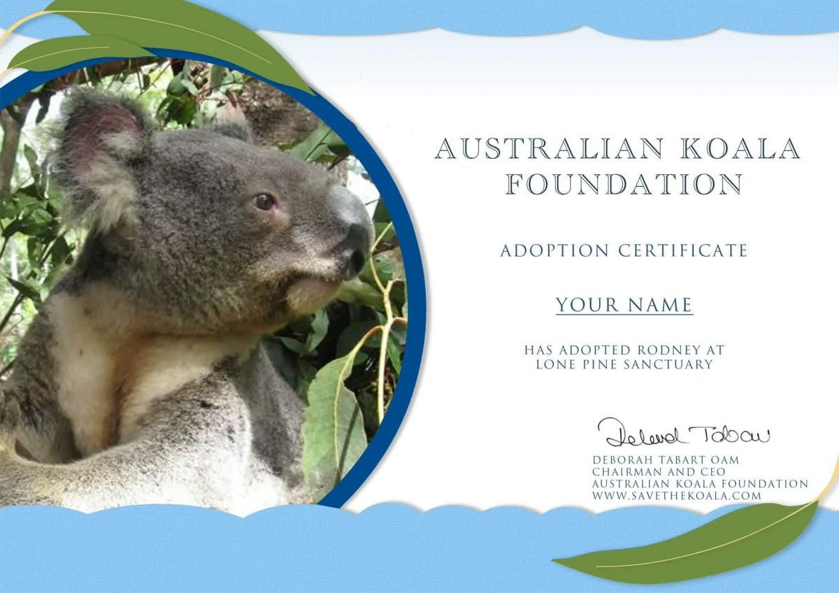 Adopt A Koala Australian Koala Foundation Koala Bear Adoption