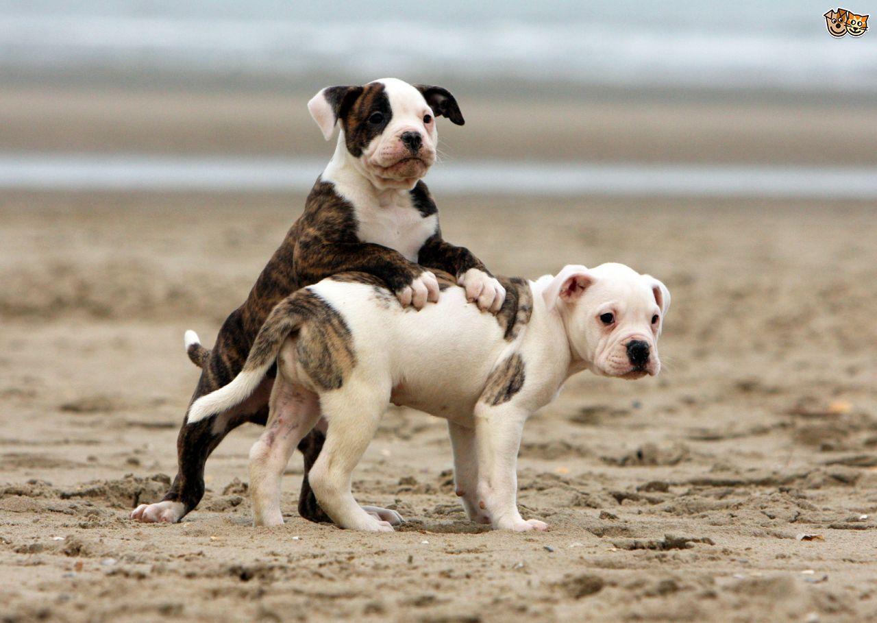 American Bulldog American Bulldog Puppies