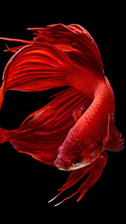 Epingle Par A New You Qatar Sur Kunst Poisson Combattant Poisson Rouge Aquarium Poisson