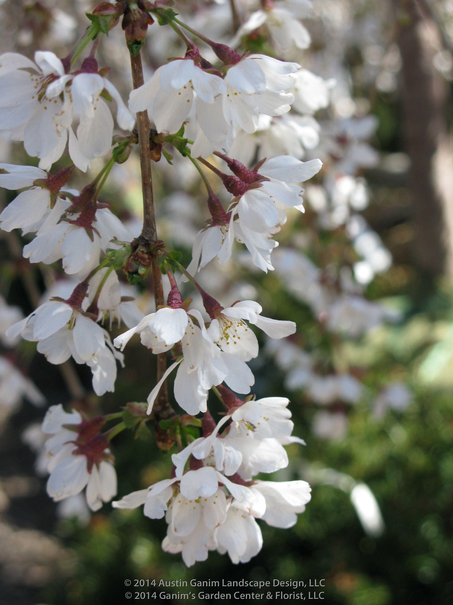 Prunus Snofozam Snow Fountains Weeping Ornamental Cherry Tree Cascades Of Single White Flowers Cover Ornamental Cherry Small Weeping Trees Flowering Trees