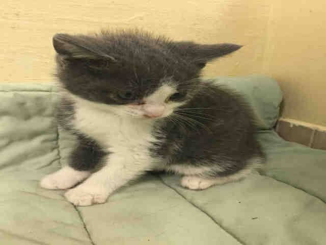 Safe To Be Destroyed 1 12 15 Nyc Adorable Baby Kitten Manhattan Center Came In With A1024764 766 Please Foster Baby Kittens Puppy Adoption My Animal