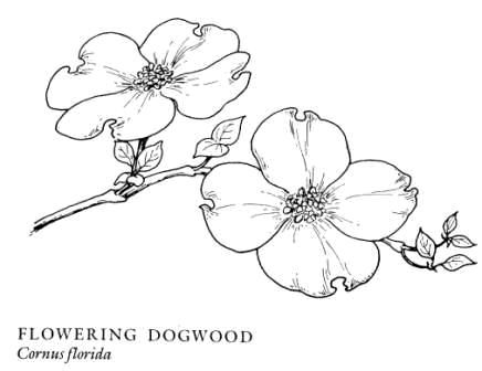 Dogwood Drawing Show Me A Of Blossom