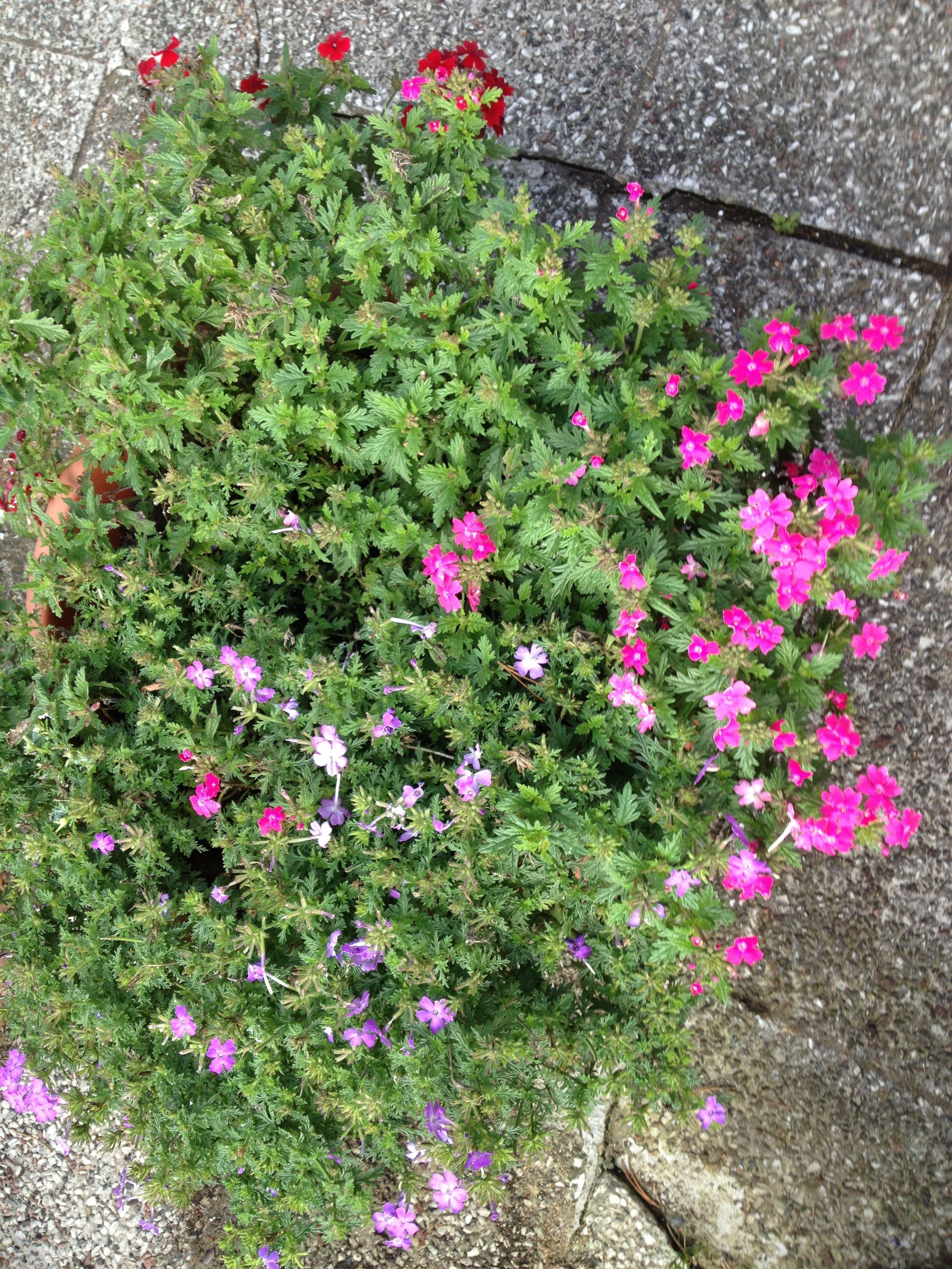 Verbenen Blumen Pinterest