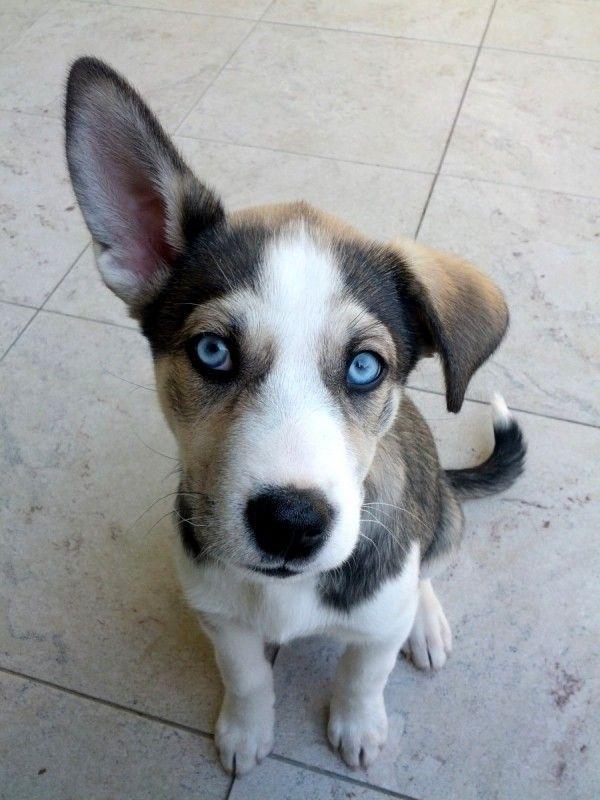 Husky-Basenji-Mix | My soon to be Puppy | Cute animals ...