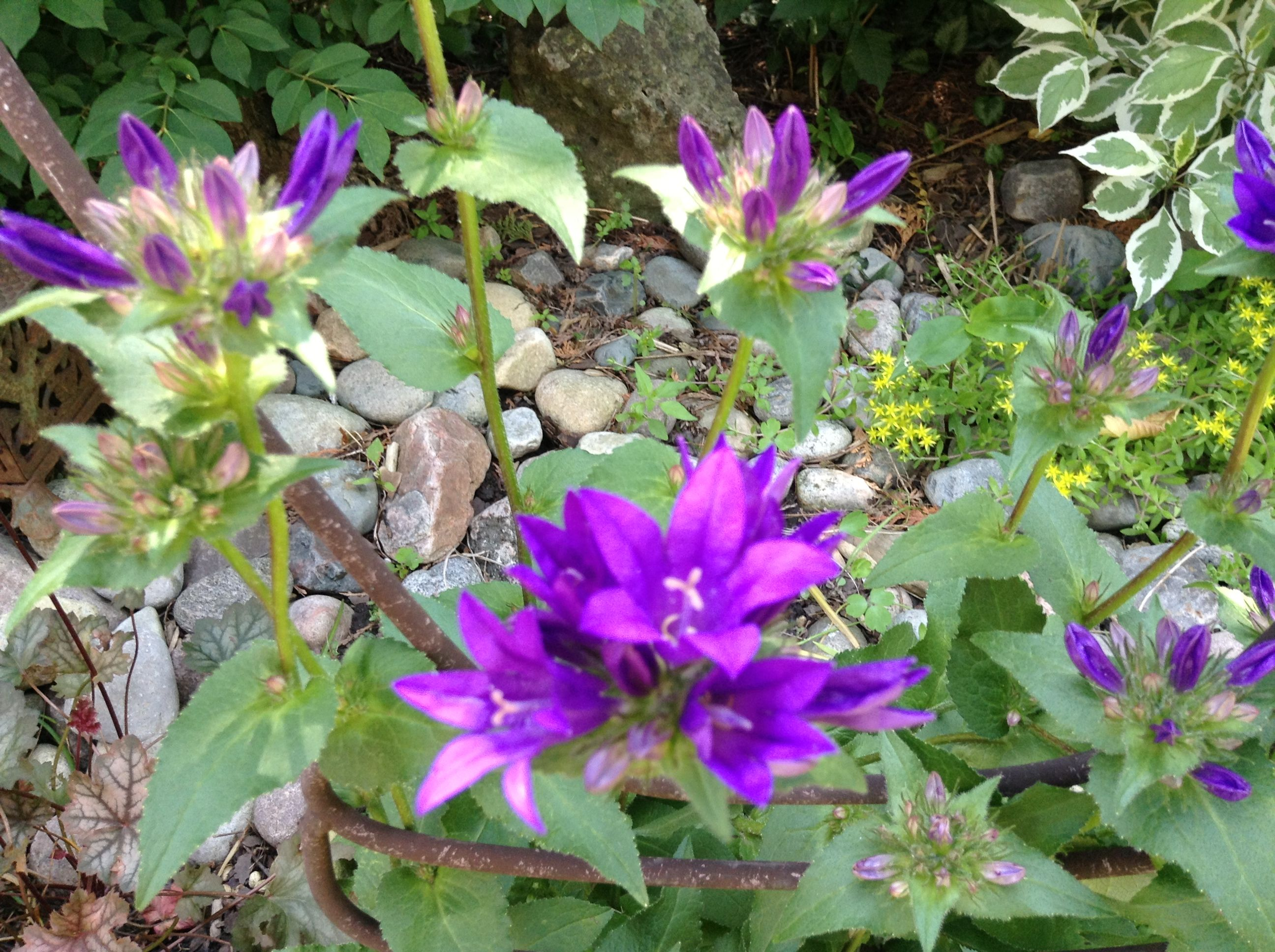 Blue Anemone from my garden