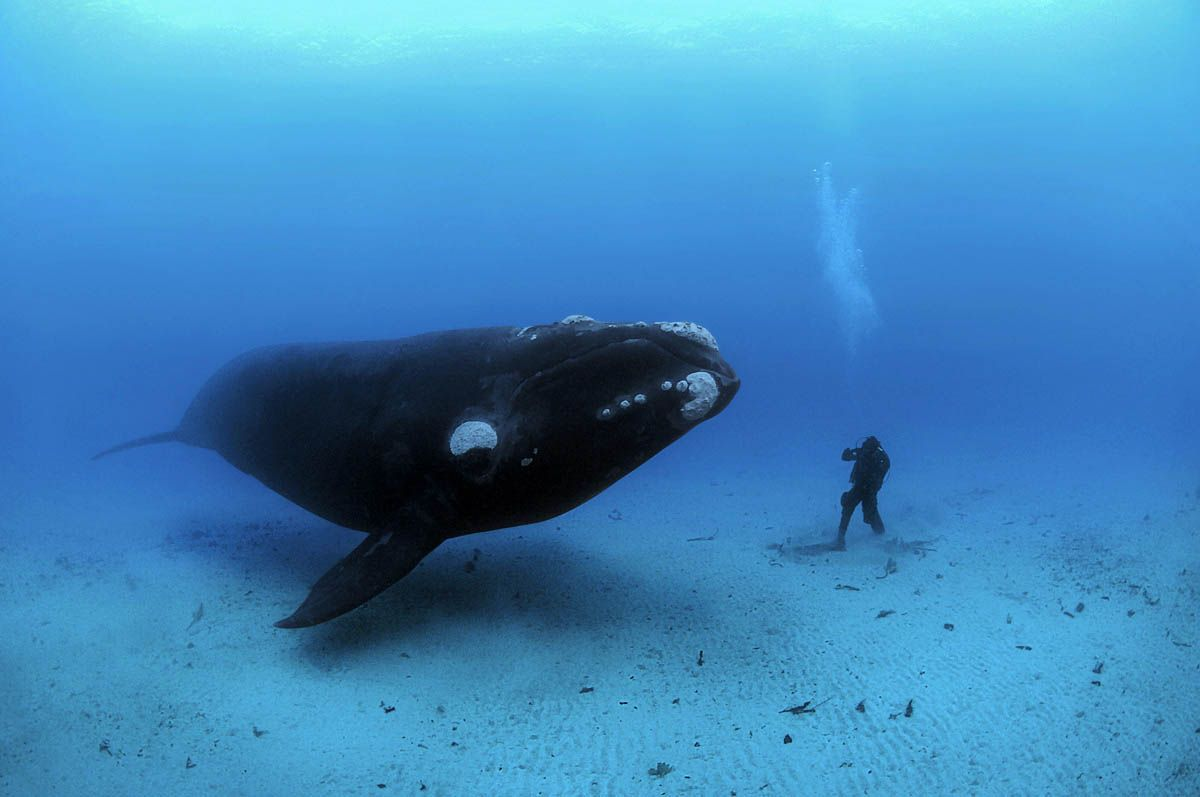 Southern Right Whale meets a diver by Brian Skerry