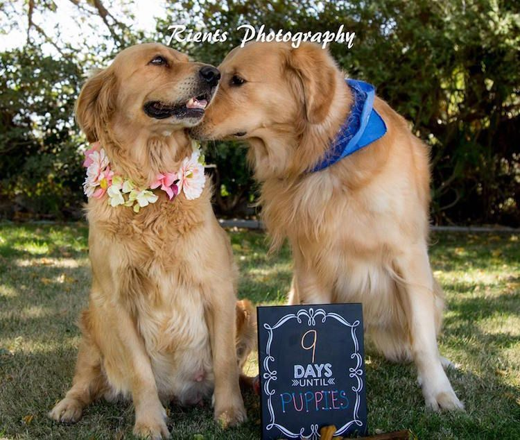Pregnant Golden Retriever Glows In Her Own Fabulous Maternity