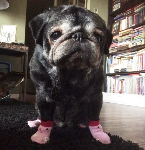 This Elderly Pug Has Got Her Confidence Back Thanks To Socks Old
