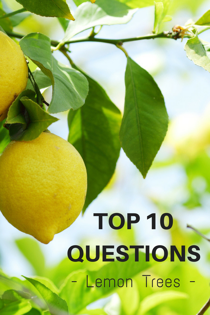 Top 10 Questions About Lemon Trees Gardening Know How S Blog Lemon Tree Lemon Tree Potted Growing Lemon Trees