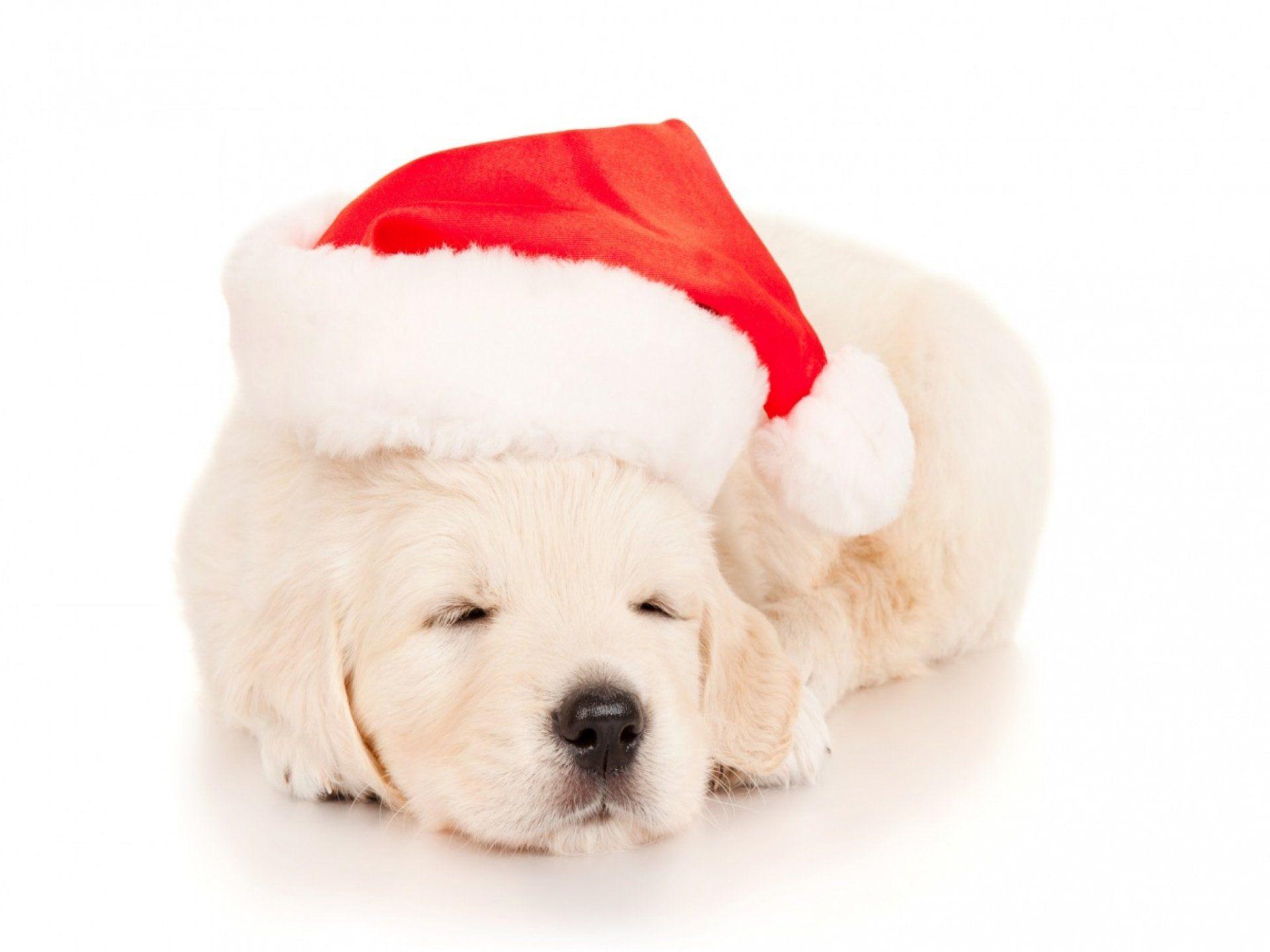 Animal Puppy Labrador Retriever Animal Sleeping Cute Christmas Santa Hat Wallpaper Golden Retriever Puppy Christmas Puppy Cute Puppies