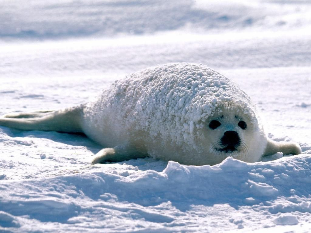 Bebe Phoque Animals Cute Seals Baby Harp Seal