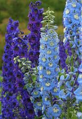 Tall blue perennial flowers choice image flower decoration ideas other gallery of tall blue perennial flowers mightylinksfo Image collections
