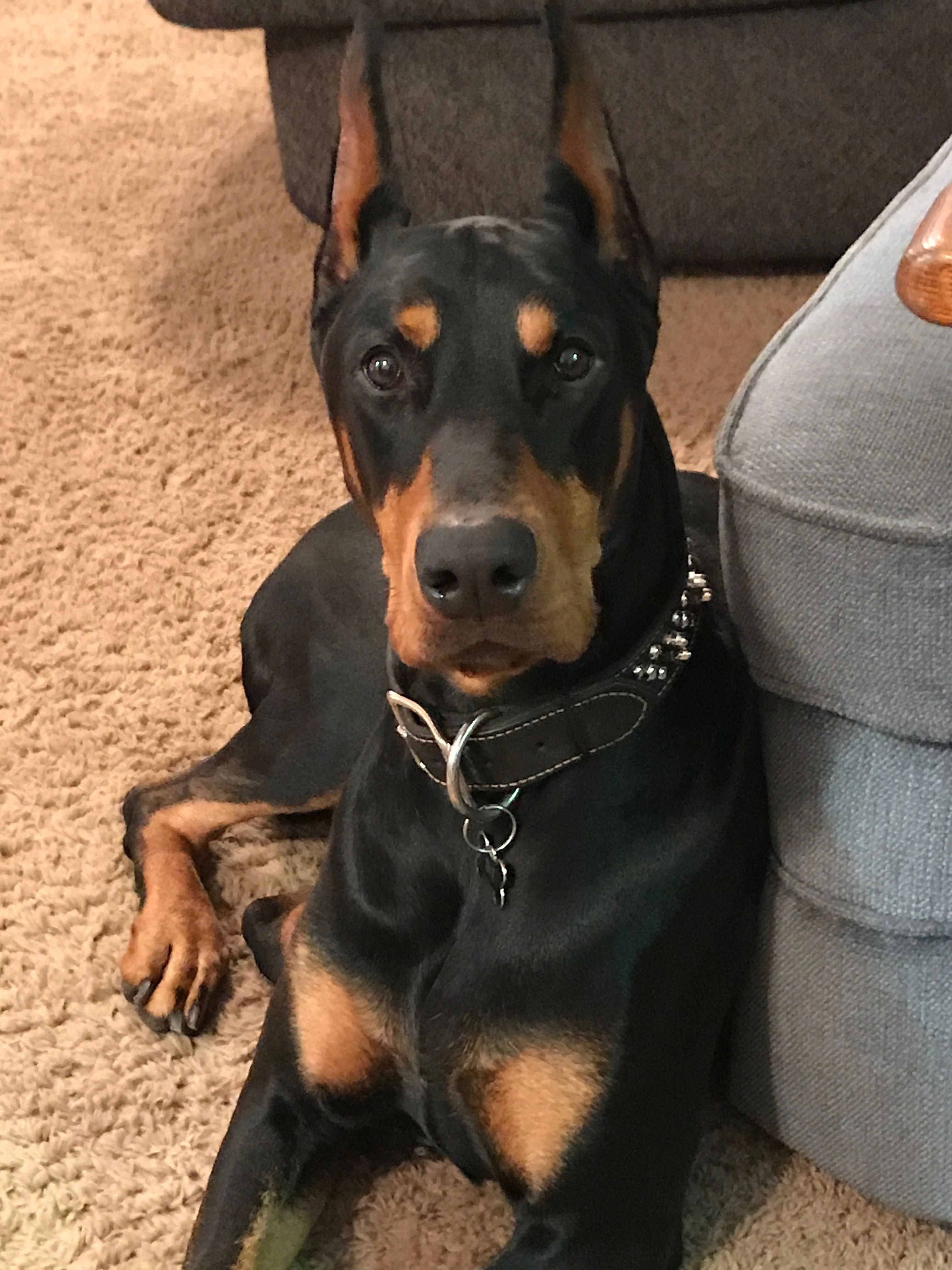 Some Of The Things We All Enjoy About The Fearless Dobermans Pup