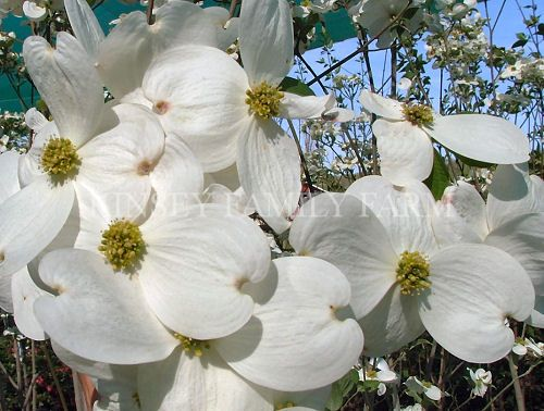 Cherokee Princess Dogwood Tree Features Large Showy White