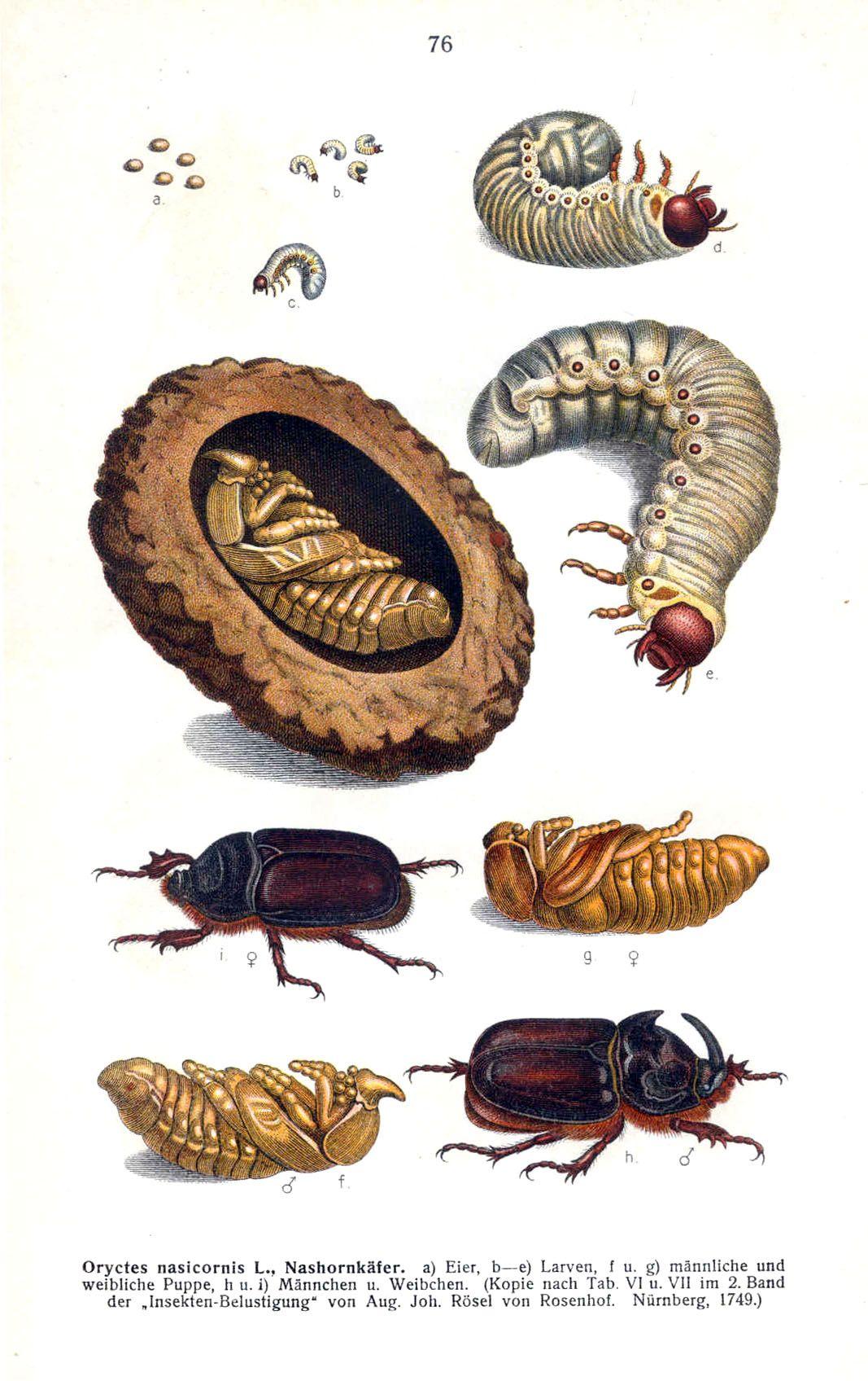 Rhinoceros Beetle Life Cycle | Life science unit | Pinterest ...