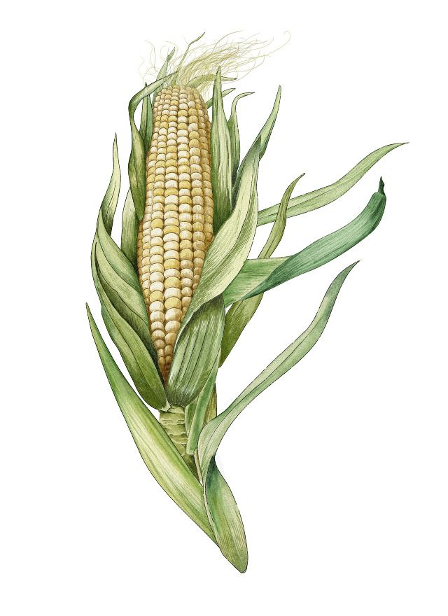 Vintage Corn 15