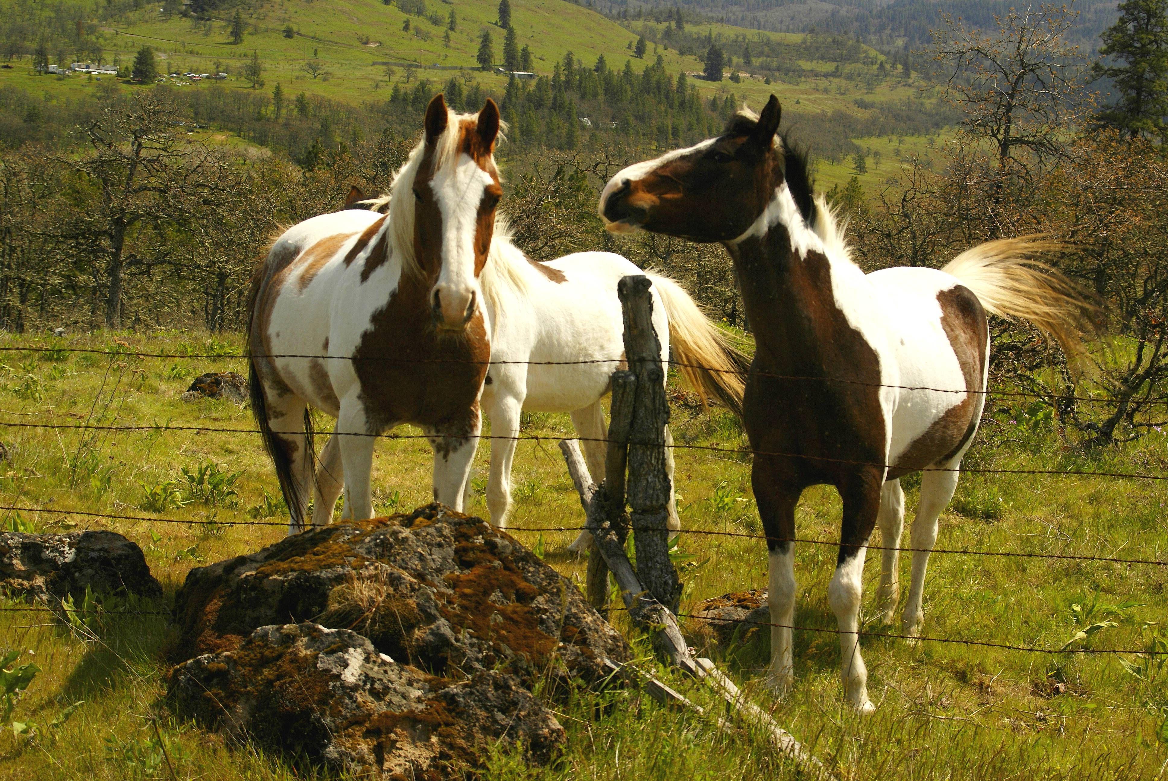 calico horse - Google Search